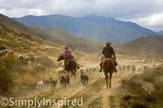 Sheep Muster, Erewhon Station, Canterbury, New Zealand