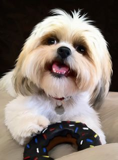shih-tzu with a donut