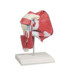 Αυτό το πρόπλασμα επιδεικνύει με μεγάλη λεπτομέρεια τους μύες, τους συνδέσμους και τα οστά της ωμικής ζώνης. Μέσω διαφορετικών διατομών είναι δυνατόν να παρατηρηθούν οι επιπολείς μύες, οι εν τω βάθει μύες και τα οστά. Είναι ενιαίο σε πραγματικό μέγεθος.  Μέγεθος: 23 x 19 x 11 cm Βάρος: περίπου 0.4 kg #προπλασμα #προπλασματα Outdoor Decor, People, Life, People Illustration, Folk