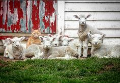 Meet Steve, the Cat That Thinks He's a Lamb   - CountryLiving.com