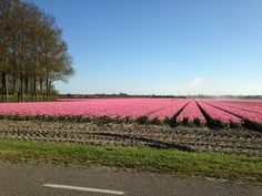 Tulip fields North Holland May 2016