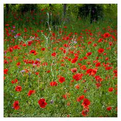 Red Poppies French countryside field of poppies by SonjaCaldwell, $25.00