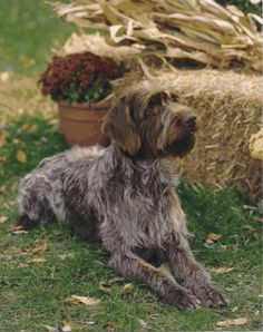 Image Detail for - Wirehaired Pointing Griffon dog breed infromation, pictures ...