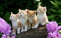 #11256, HQ Definition Wallpaper Desktop kitten backround
