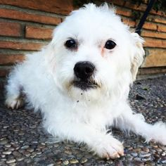 Cuddlebug is a female Maltese/Terrier mix who is available at Santa Cruz SPCA, Santa Cruz,CA. She has been there for over a year.