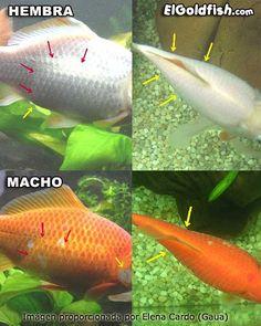 Guía de identificación sexual en peces de acuario. - Taringa!