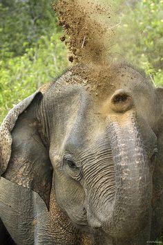 """Elephant, Udu Walawe National Park, Sri Lanka - photo by Tony Yeomans… Elephants Never Forget, Save The Elephants, Elephants Photos, Baby Elephants, Asian Elephant, Elephant Love, Funny Elephant, Elephant Art, Beautiful Creatures"
