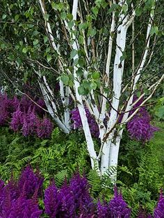 White birch, ferns and purple astilbe - Flower Beds and Gardens House Landscape, Landscape Design, Garden Design, Purple Garden, Shade Garden, Trees And Shrubs, Trees To Plant, Back Gardens, Outdoor Gardens