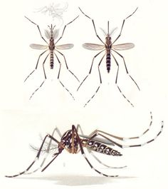 Aedes aegypti mosquitoes carry Dengue fever. Detailed photographs of the mosquito, from Costa Rica.