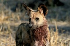 African Wild Dogs May Pay Their Own Way
