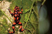 La coloración de la rana kokoi, Dendrobates histrionicus, varía según el área del Chocó Biogeográfico donde vive.