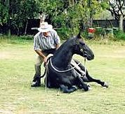 The Australian Stock Horse