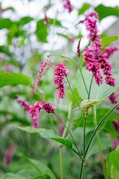 Persicaria orientalis   I  Seeds to sow fresh, Jason Ingram photo. Gardenista