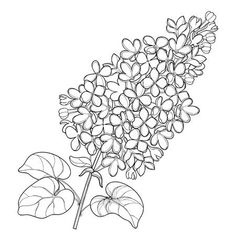 Illustration of Branch with outline Lilac or Syringa flower bunch and ornate leaves in black isolated on white background. Blossoming garden plant Lilac in contour style for spring design and coloring book. vector art, clipart and stock vectors. Outline Drawings, Tattoo Outline, Art Drawings, Drawings Of Flowers, Lilac Flowers, Bunch Of Flowers, Flower Outline, Flower Art, Op Art