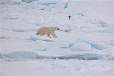 Utbredelsen av vinter-is i Arktis tangerer bunnrekorden   Greenpeace Norge