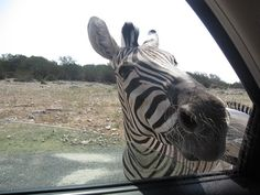 Natural Bridge Wildlife Ranch, San Antonio, Texas. The drive-thru tour is so much fun!
