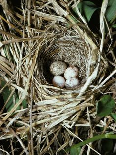 "This blog has so many beautiful bird nest photos! ""Bird Nests"" by pawpaw911  [Brown-Headed Cowbird Egg in Nest of Macgillivaray's Warbler]"