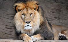 Un león descansa en su recinto del zoo de Olomouc, Chequia (Slavek Ruta, 2015)