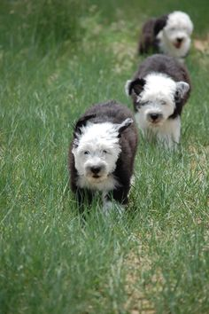 Sherrier Shaggy Bottoms Old English Sheepdog puppies, 8 weeks