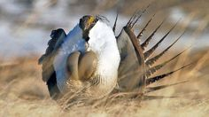 Frack Quietly, Please: Sage Grouse Is Nesting