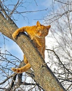 ginger kitty about to come down from the  tree