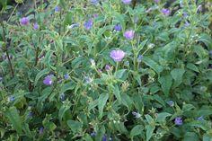 Anoda cristata- straalvrucht, uit de malva'fam.' 1jarige tot 1 m. hoog, bloeit paars vanaf juli tot in de herfst. Is een bijenplant.
