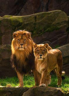 Lion and lioness in forest wild animal mobile wallpaper Leeuw en leeuwin in bos wild dierlijk mobiel behang Animals Images, Animals And Pets, Cute Animals, Wild Animals, Lion Pictures, Animal Pictures, Beautiful Cats, Animals Beautiful, Beautiful Wife