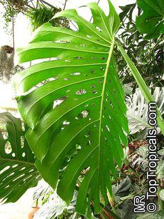 Monstera deliciosa, Philodendron pertusum, Swiss Cheese Plant, Fruit Salad Plant, Ceriman