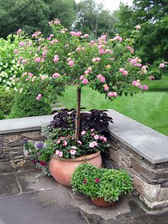 Summer planter using a pink and yellow flowering lantana tree as the centerpiece to attract butterflies and hummingbirds. Patio Trees, Potted Trees, Flowering Trees, Lantana Tree, Lawn And Garden, Garden Pots, Bonsai, Landscape Design, Garden Design