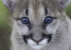 """The """"ghost cat"""" or the Eastern cougar is just that. The U.S. Fish and Wildlife Service declared the eastern cougar to be extinct in March of 2011, confirming a widely held belief among wildlife biologists that native populations were wiped out by man almost a century ago. After a lengthy review, federal officials concluded there are no breeding populations of cougars in the eastern United States. Researchers believe the eastern cougar subspecies has probably been extinct since the 1930s."""