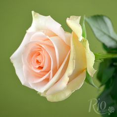 tiffany roses - Google Search