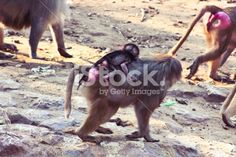 Baboon Monkey chilling in the zoo Royalty Free Stock Photo #ape #monkey #apes #Africa #animal #photography #pic #photos #stock_photography #artistic #baboon #profile #portfolio #istock
