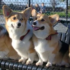 From one corgi to another KingdomOfCat .guru is our new furry friend . Check of their web site Cute Corgi, Corgi Dog, Cute Puppies, Dogs And Puppies, Animals And Pets, Baby Animals, Cute Animals, Sweet Dogs, Pembroke Welsh Corgi