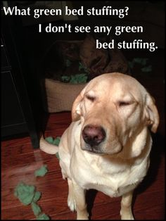 """What green bed stuffing? I don't see any green bed stuffing."" ~ Dog Shaming shame - Bella - Yellow Lab - Mommy close your eyes first...see, it's all gone."
