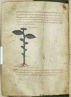 De materia medica, MS M.652 fol. 132v - Images from Medieval and Renaissance Manuscripts - The Morgan Library & Museum