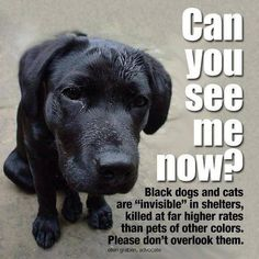 """Black dogs and cats are """"invisible"""" in shelters, killed at far higher rates than pets of other colors. If I had over looked my Black Dog my life would probably be emptier, he is my world. PLEASE don't overlook them! Shelter Dogs, Rescue Dogs, Animal Rescue, Black Animals, Animals And Pets, Cute Animals, Animals Planet, Pretty Animals, Golden Retrievers"""