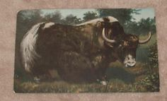 1910-Musk-Ox-Postcard-Canada-Northern-Artic-Animal-Meat-Food-Yak-Wrong ...