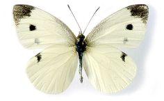 Afbeeldingsresultaat voor white butterfly