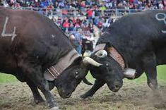 Risultati immagini per fotografie di lotta trà bovine Image, Cow