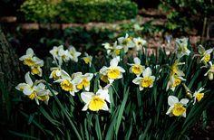 Narcissus 'Ice Follies' - Narcis - Daffodil | 3-4 | 40-45 cm | 25-36 m2 | Plantafstand 15 cm | Plantdiepte 10-15 cm