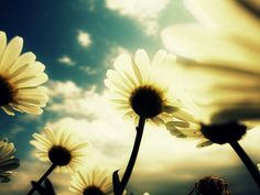 I want to lay in a field of daisies on a sunny day. Daisy Field, Jolie Photo, Sunny Days, Like Me, Dandelion, Nature Photography, Artsy, Floral, Flowers