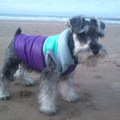 #Schnauzer  .....Rocking its jacket on the beach!!  What's with dressing up our schnauzers, folks??? they cold!! Give them their schnauzer dignity!!