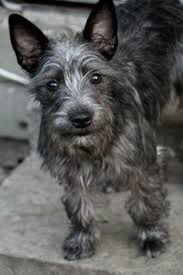 Image result for chizer dogs