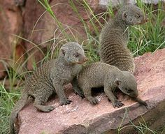 Banded Mongoose - Clever Dusty Pack Omnivore | Animal Pictures and Facts | FactZoo.com
