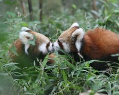 cute! red pandas are adorable! if you do not have a red panda board then something is extremely wrong with you :)