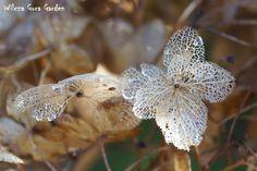 dry hydrangea flowers - Wilcza Gora Garden