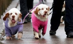 A pair of soggy Clumber spaniels amble towards the NEC