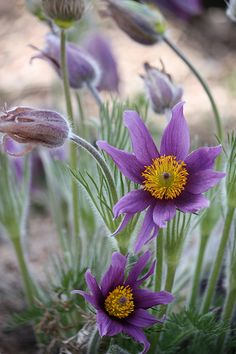 Purple Pasque Flowers (Pulsatilla) these used to grow wild up at my parent's house, I loved picking them for my mom