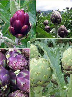 'Green Globe' - popular variety with big green heads 'Romanesco' - attractive purple heads 'Violetta di Chioggia' - great tasting purple heads 'Purple Sicilian' - small, deep purple heads 'Violetta Precoce' - violet coloured heads