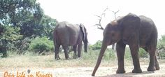 Baby elephant at our front gate in KNP